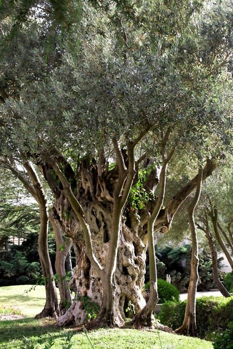 old olive tree Jerusalem