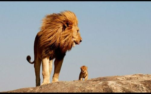 lion and cub1
