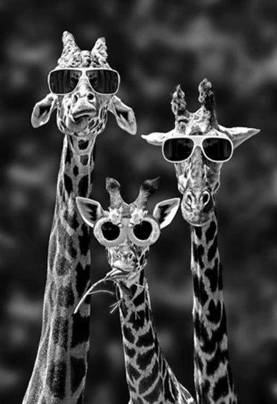summer giraffes