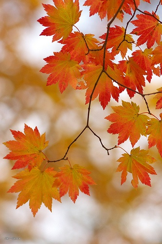 maple pattern by Sky-Genta on Flickr