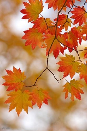 maple pattern by Sky-Genta on Flickr