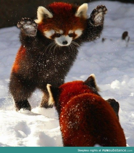 red pandas in snow