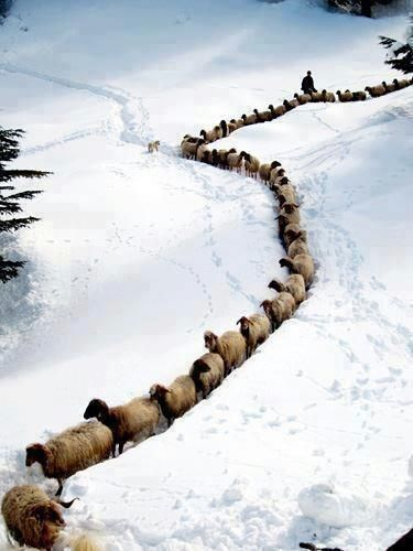 Sheep in line--Photo credit unknown