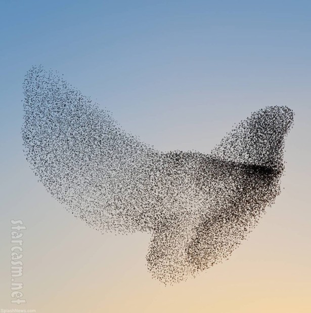 starling-flocks-murmuration-04