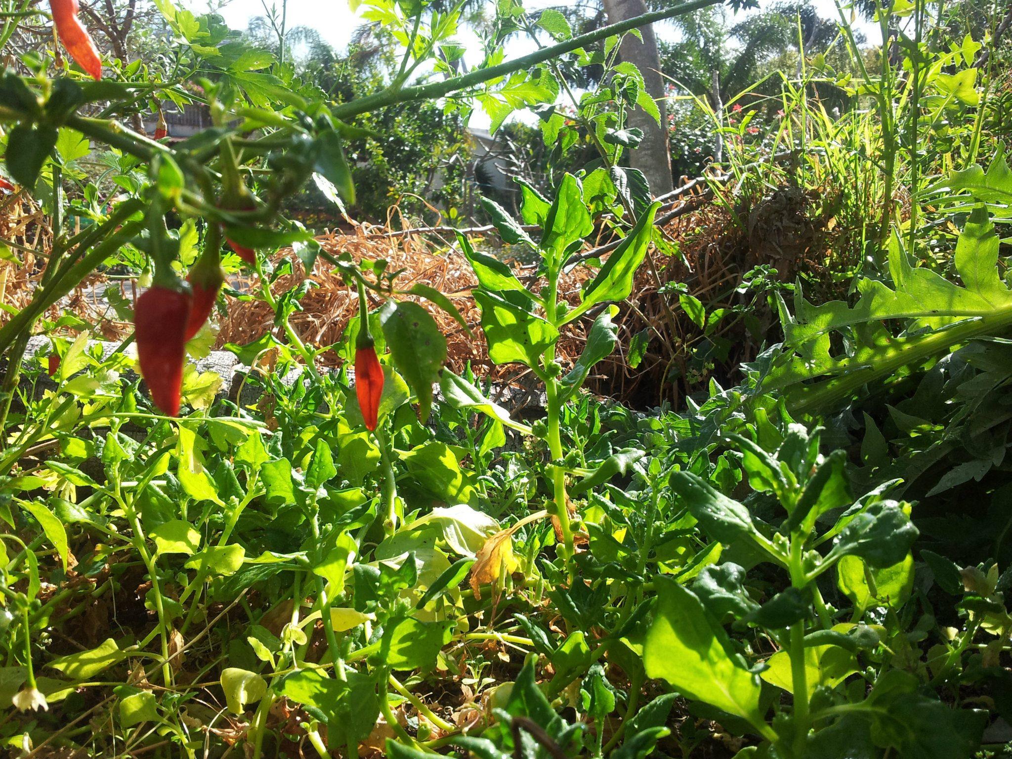 Chillies and Spinach DvoraFreedman
