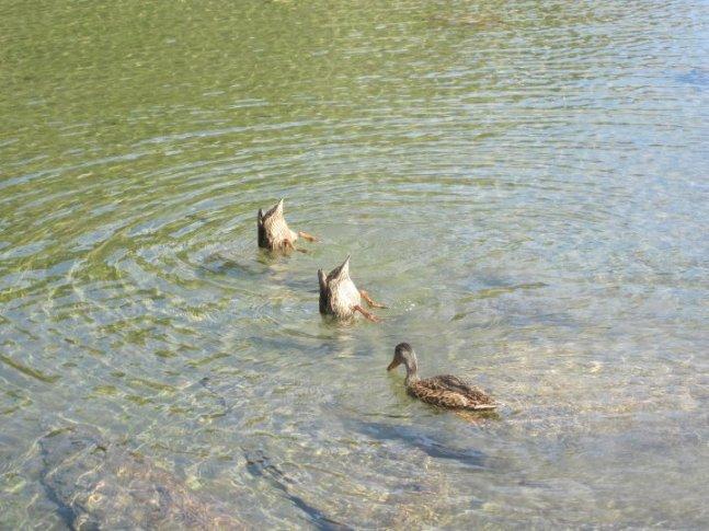 duck duck duck OfirAsif