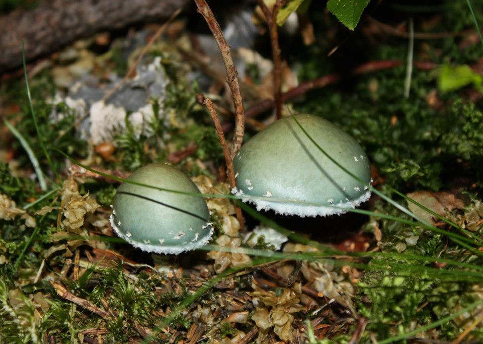 green shrooms AmitaiAsif