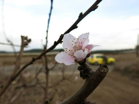 Almond bloom AmitaiAsif