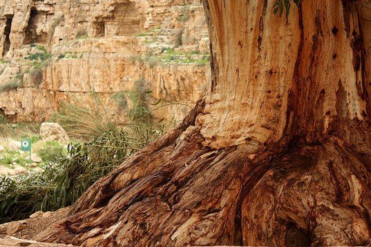Oasis tree