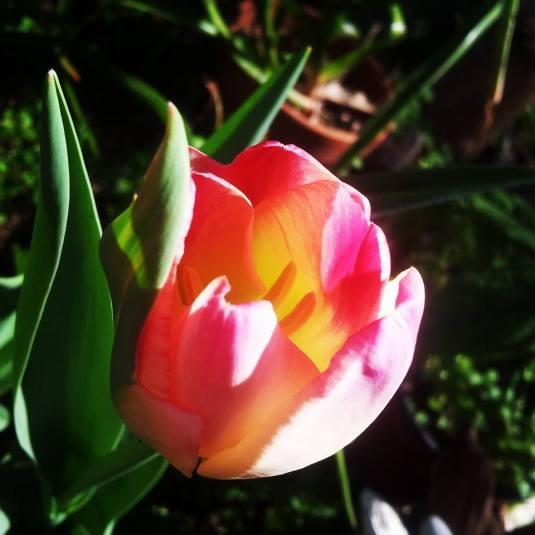 Tulip DvoraFreedman