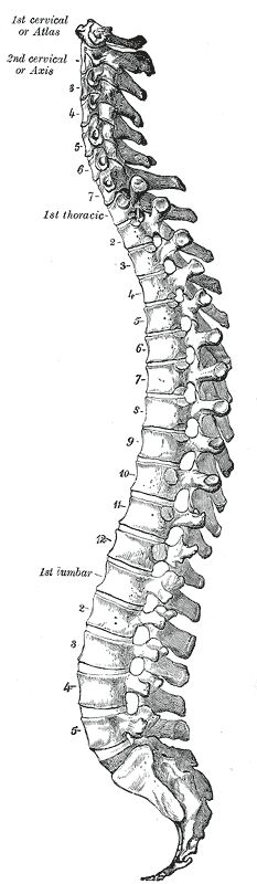 Spine Fig111 GrayHenry1918