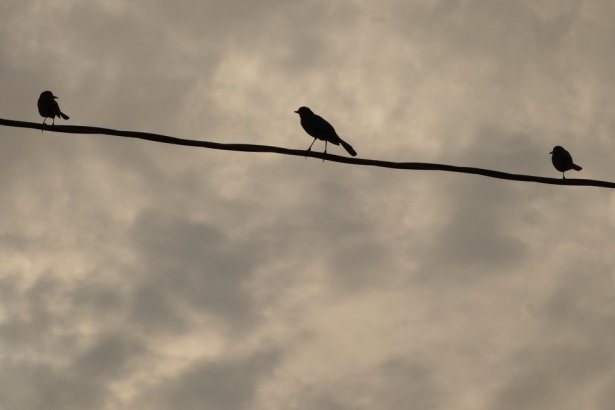 Birds on a wire PhilipCoons