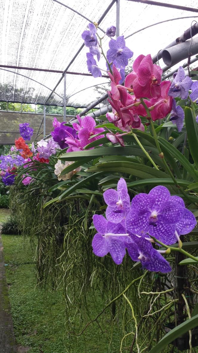 Orchid farm Chiang Mai NaamaYehuda