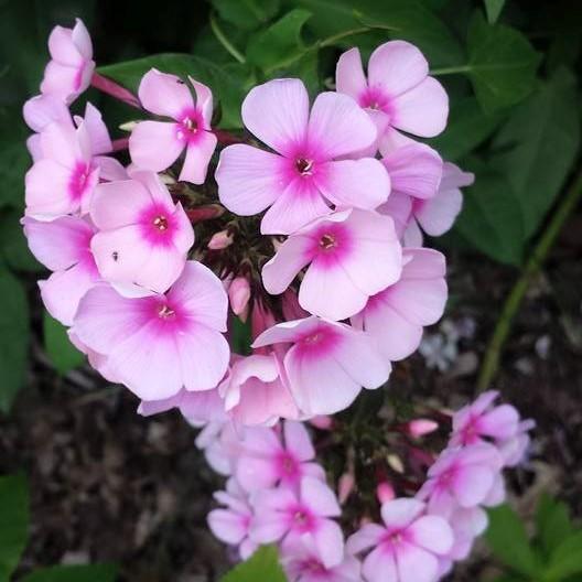 pink patch NaamaYehuda