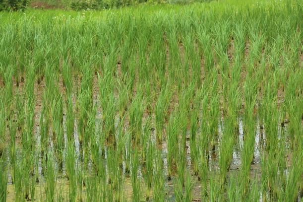 Rice Paddy Thialand AdiRozenZvi