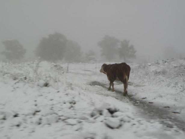 cow in snow AtaraKatz