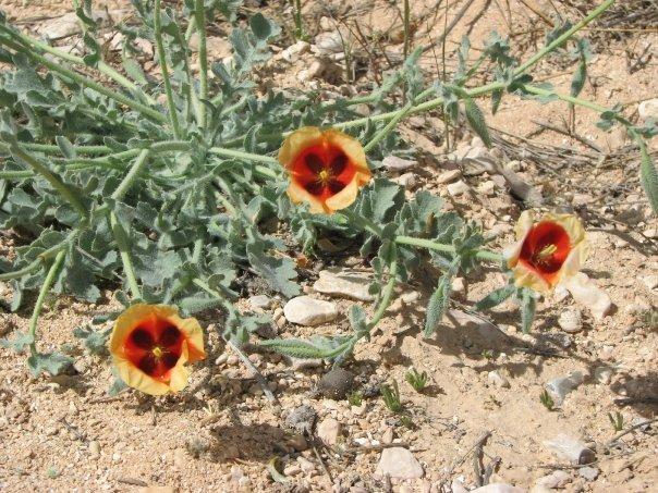 desert trio flower OsnatHalperinBarlev