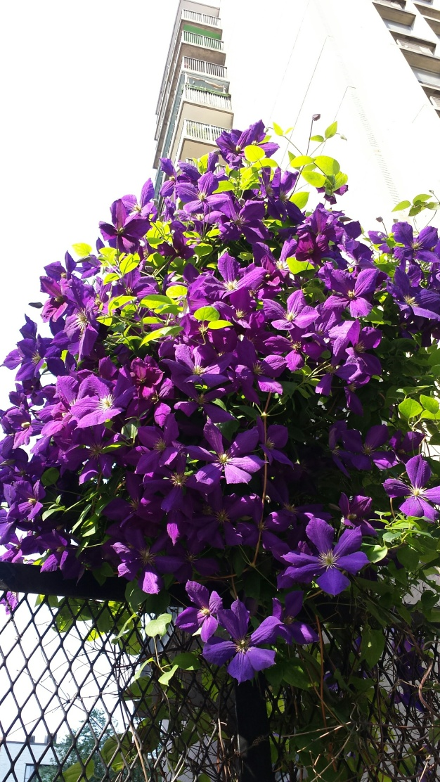 Purple bunch NaamaYehuda