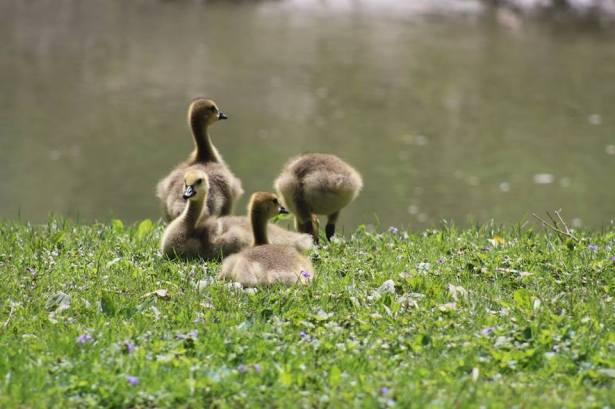 Goslings PhilipCoons