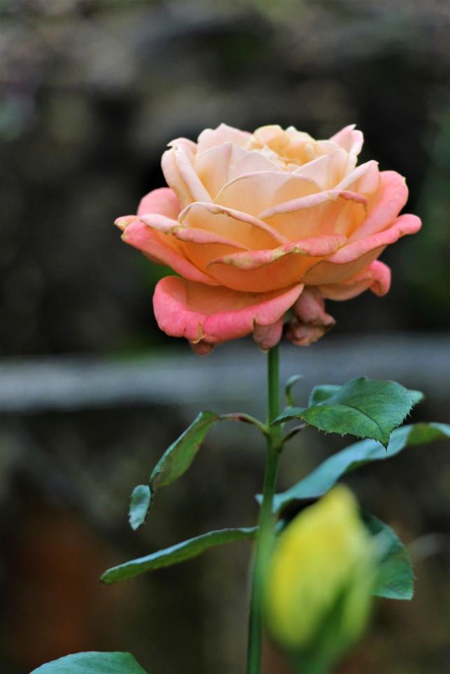 rose adirozenzvi 2