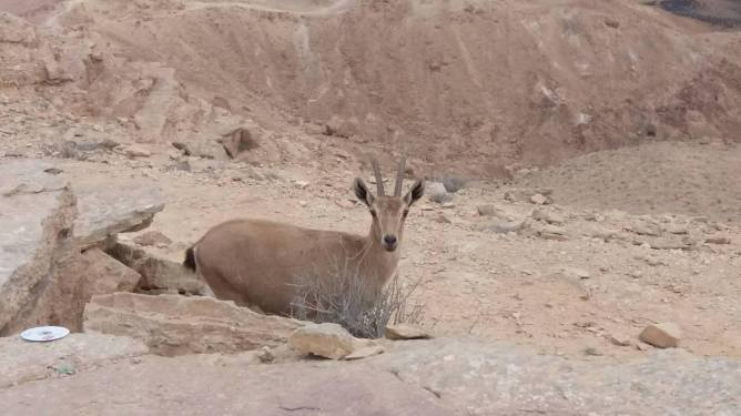 Female Nubian Ibex Osnat HalperinBarlev