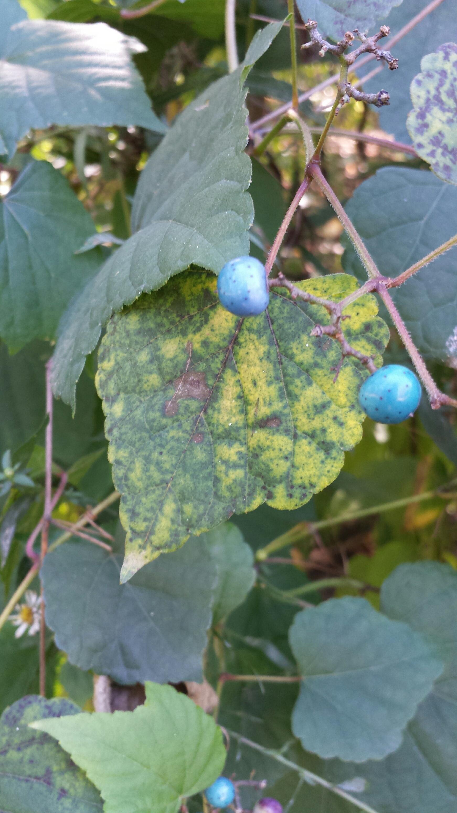 Not Blueberries NaamaYehuda