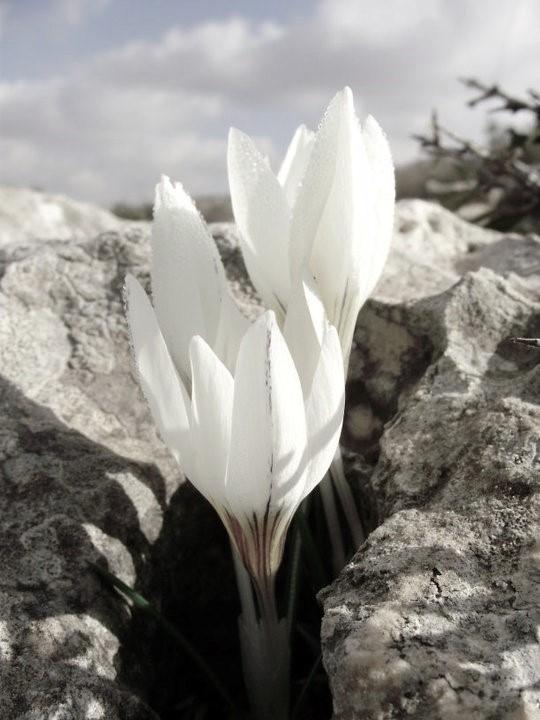 Blooming White AmitaiAsif