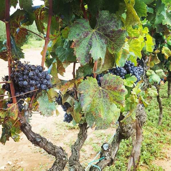 grapevine InbarAsif