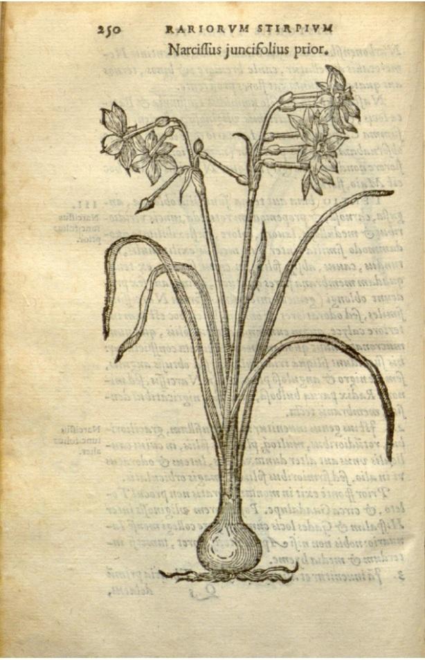 N.juncifolius CarlosClusius250 1576