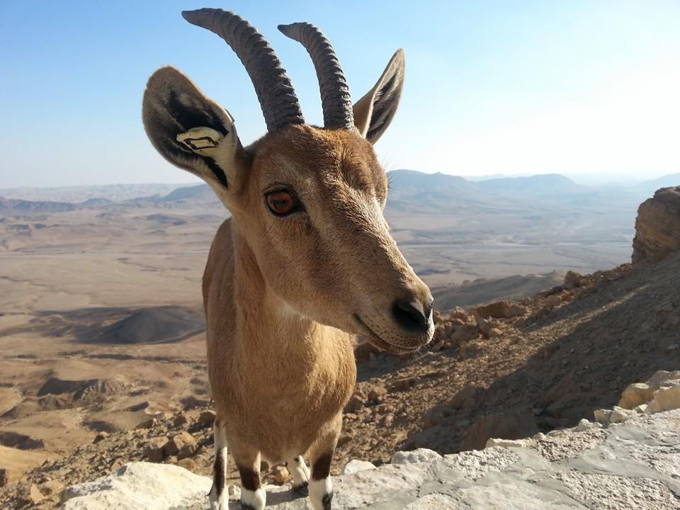 Cheeky Deer AtaraKatz