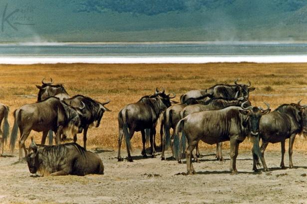 wildebeesta KreativeKue249