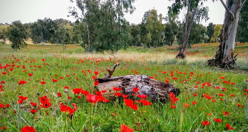 Red and Eucaliptus InbarAsif