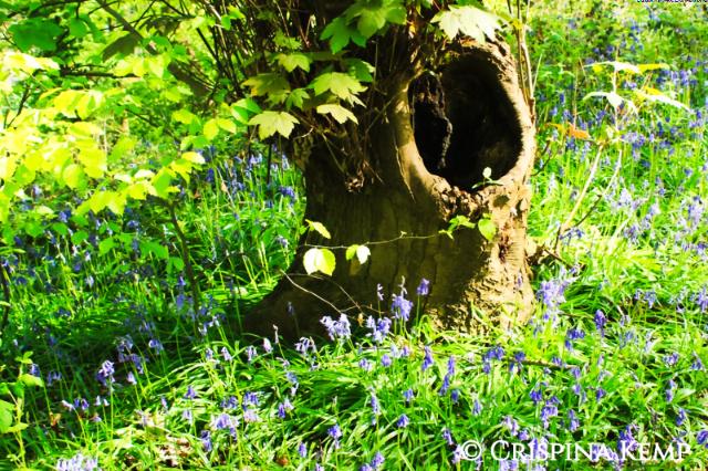 bluebell-yawning-tree CrispinaKemp