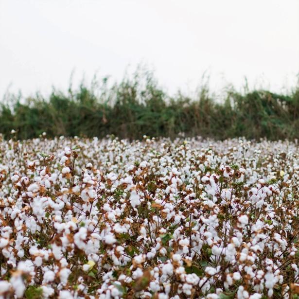 Cotton E.K.