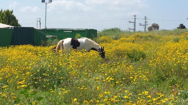 Daisy Horse NaamaYehuda